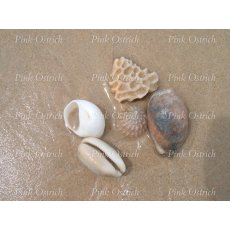 cowrie and shells