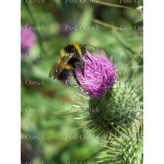 bumble bee and thistle flower 1