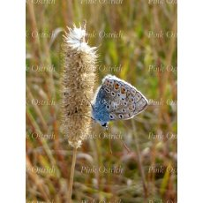 chalkhill blue butterfly on grass stalk