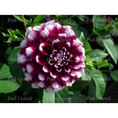purple and white dalia