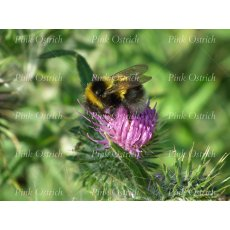 bumble bee and thistle flower