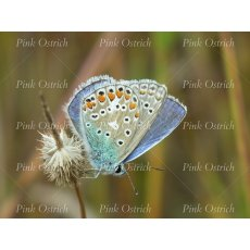 chalkhill blue butterfly close up